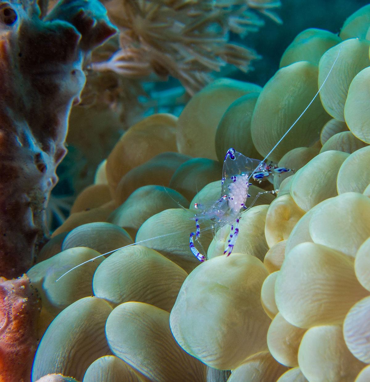 Anemone Shrimp, Bunaken Island, Manado, Indonesia