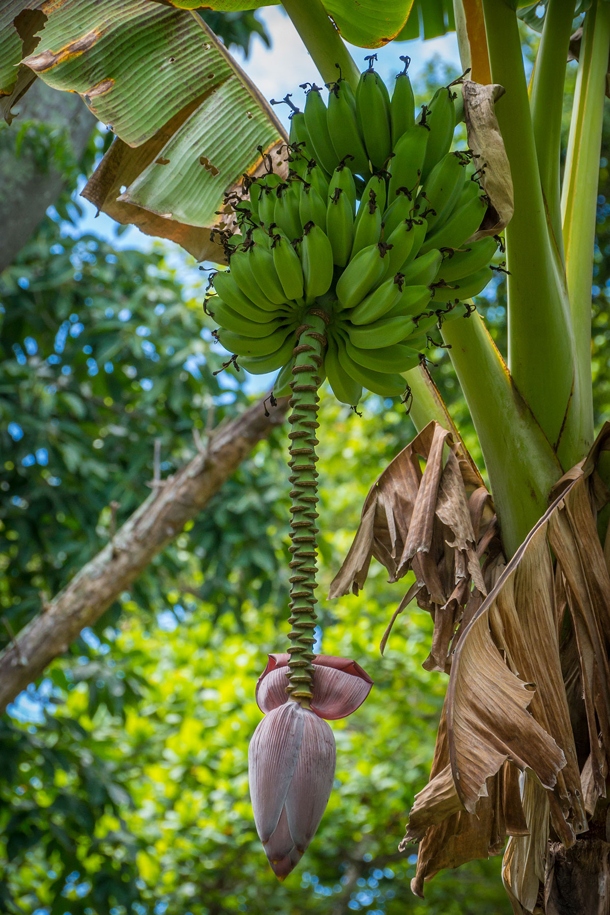 Banana Tree, Bunaken Island, Manado, Indonesia