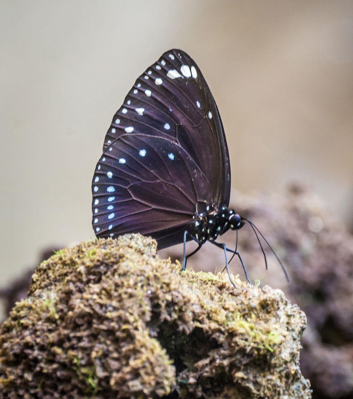 Butterfly, Bunaken Island, Manado, Indonesia