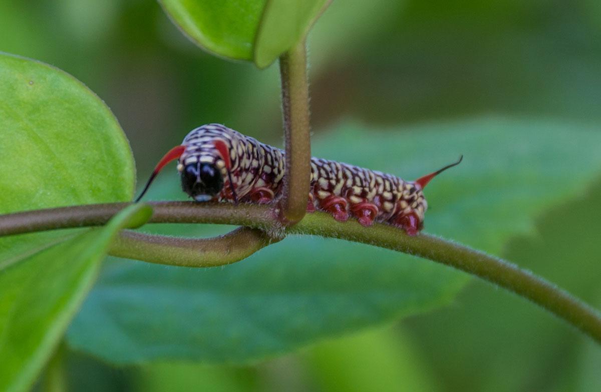 Caterpillar, Seabreeze Resort, Bunaken Island, Manado, Indonesia