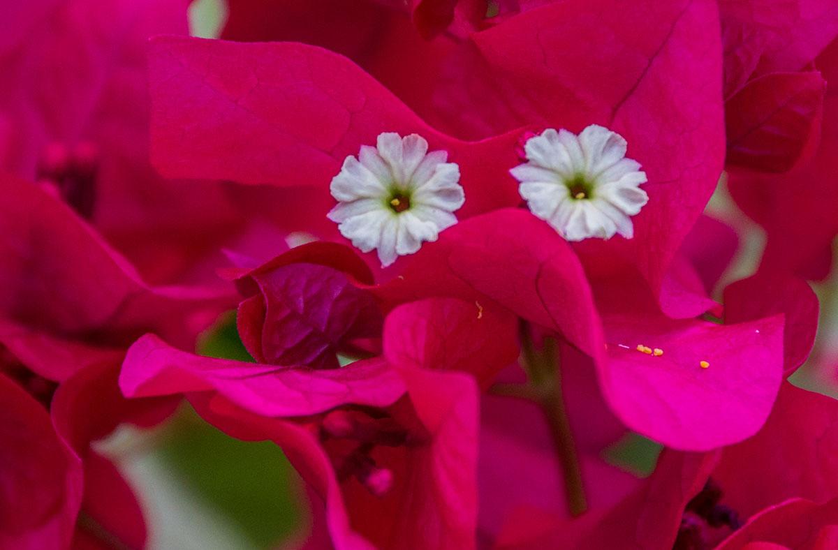 Flowers, Seabreeze Resort, Bunaken Island, Manado, Indonesia