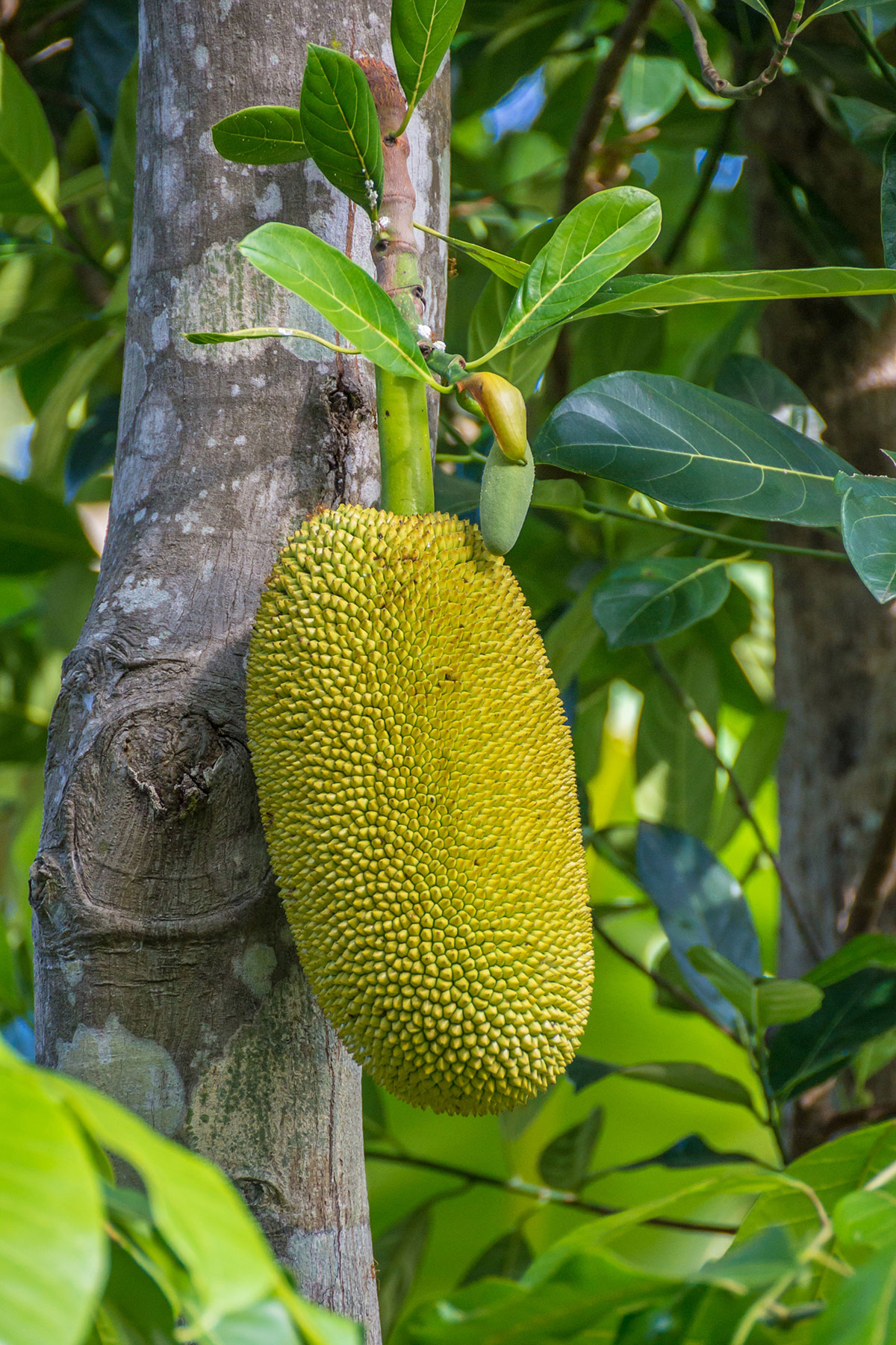 Jack Fruit, Seabreeze Resort, Bunaken Island, Manado, Indonesia