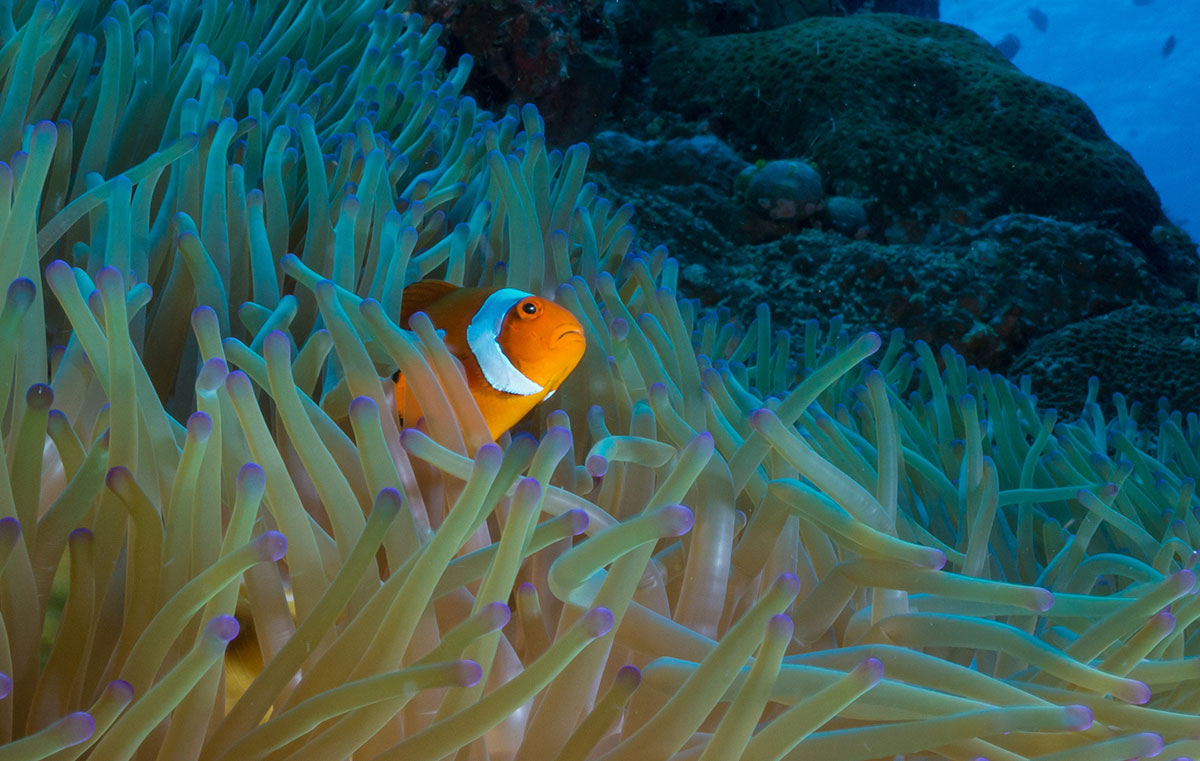 Anemone Fish, Nemo, Clown Fish, Bunaken Island, Manado, Indonesia