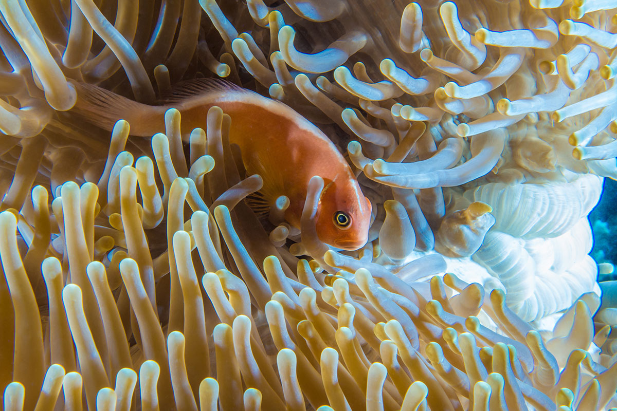 Clown Fish, Bunaken Island, Manado, Indonesia