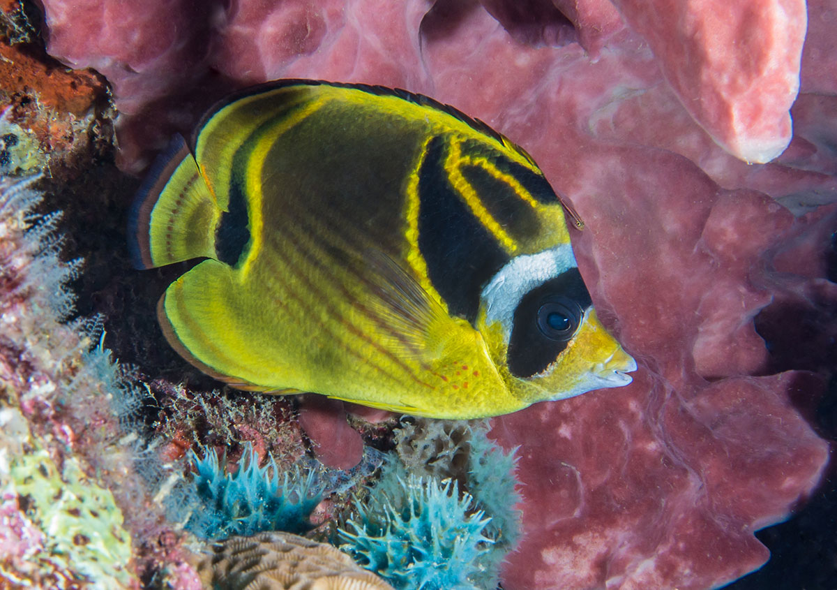 Reef Fish, Bunaken Island, Manado, Indonesia