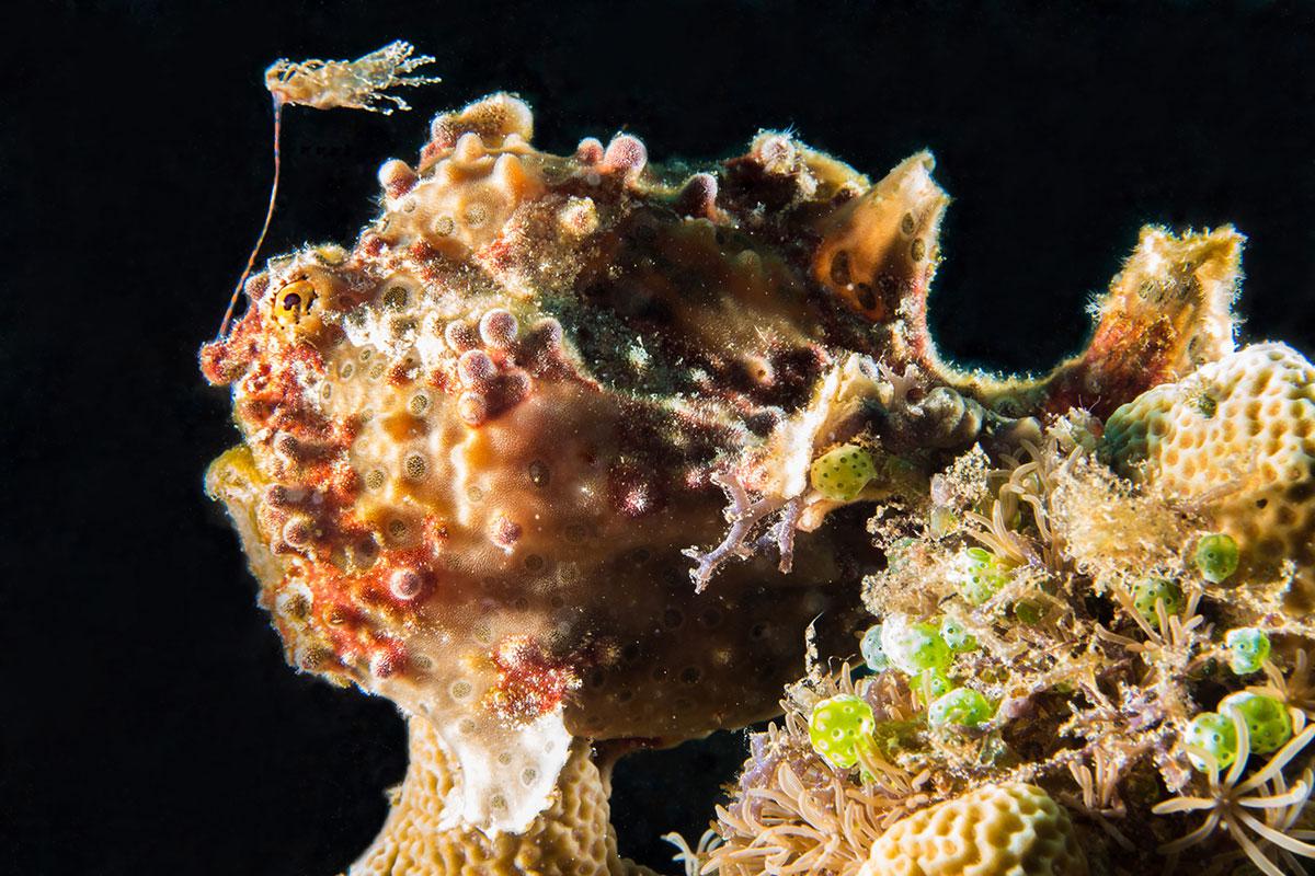 Frog Fish, Bunaken Island, Manado, Indonesia