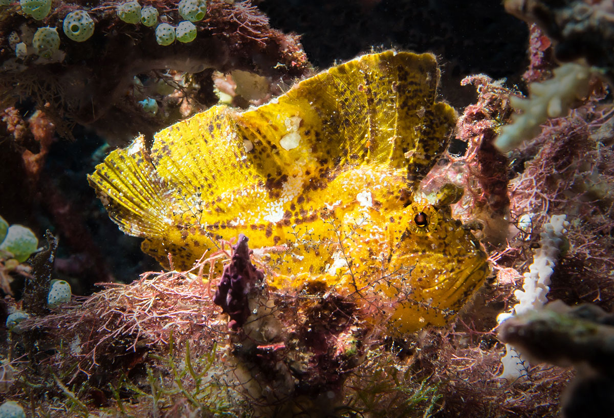 Leaf Fish, Bunaken Island, Manado, Indonesia