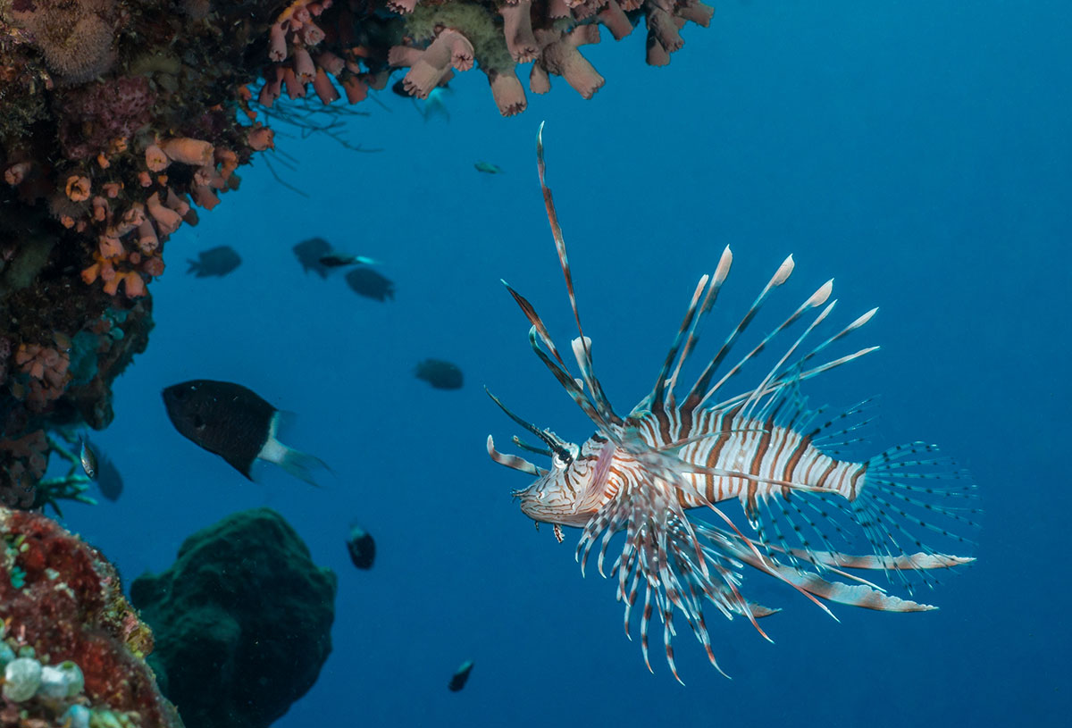 Lion fish, Bunaken Island, Manado, Indonesia
