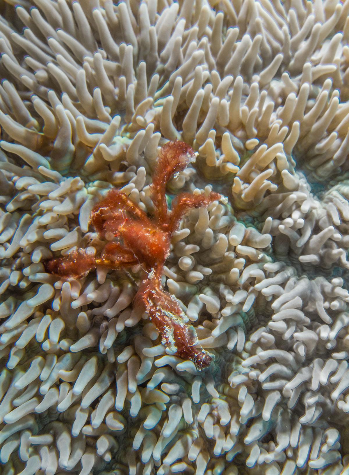 Orang Utan Crab, Bunaken Island, Manado, Indonesia