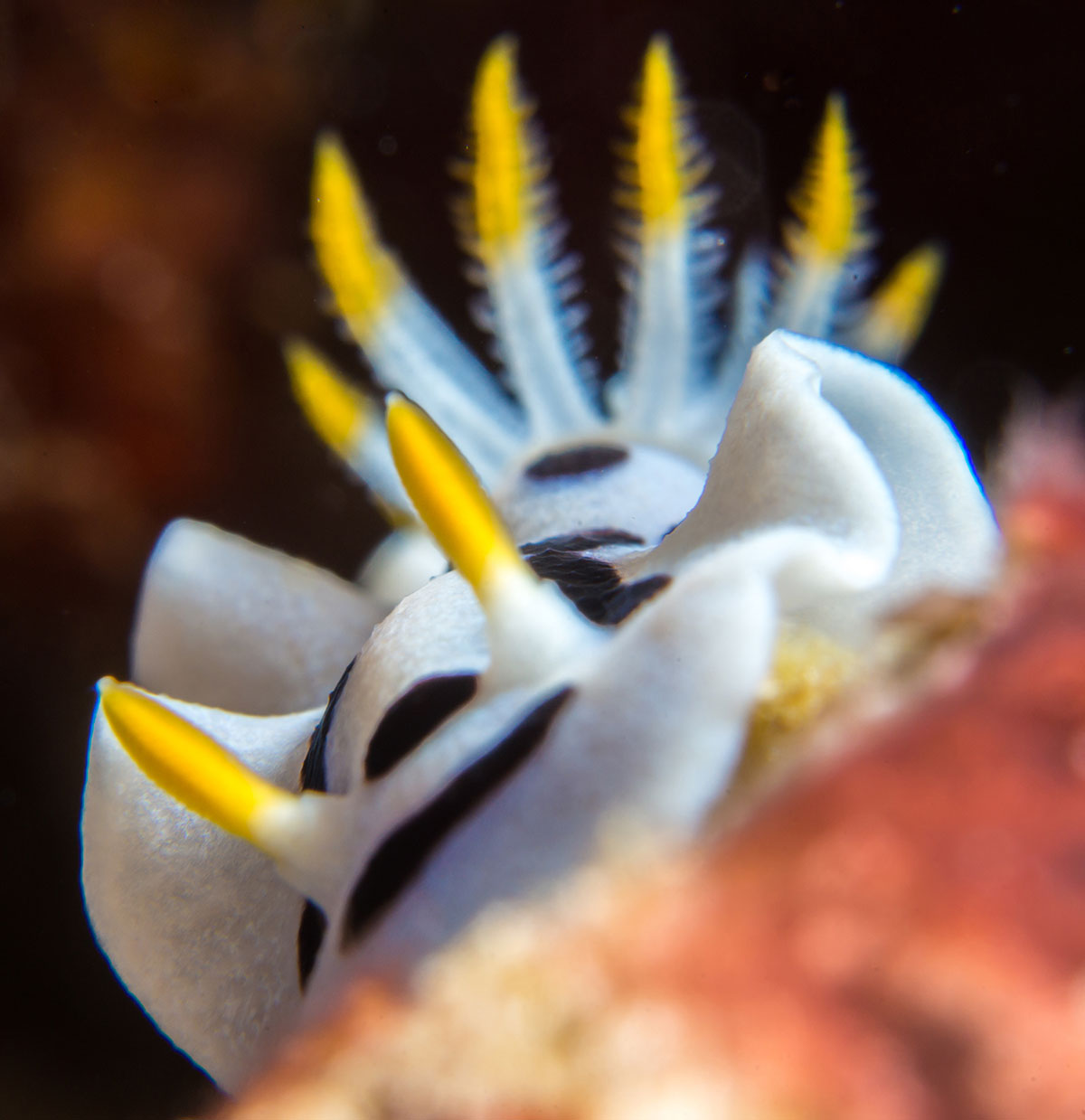 Nudibranch, Bunaken Island, Manado, Indonesia