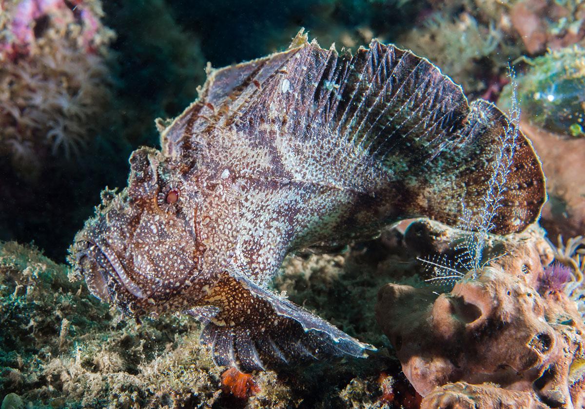 Stone Fish, Bunaken Island, Manado, Indonesia