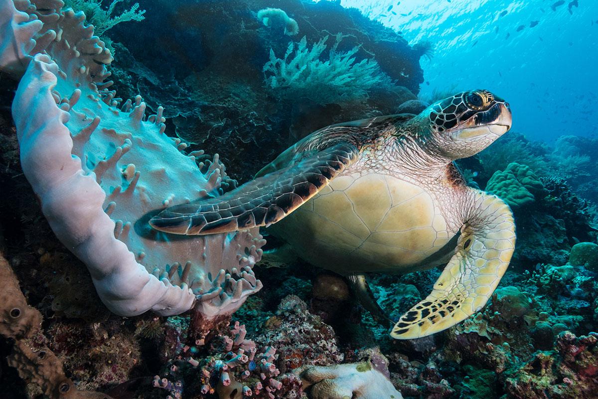Turtle, Bunaken Island, Manado, Indonesia