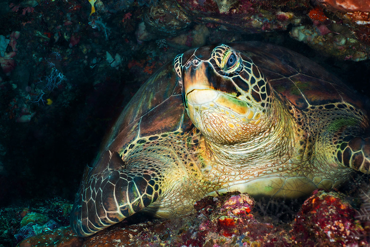 Turtle at Turtle City, Bunaken Island, Manado, Indonesia