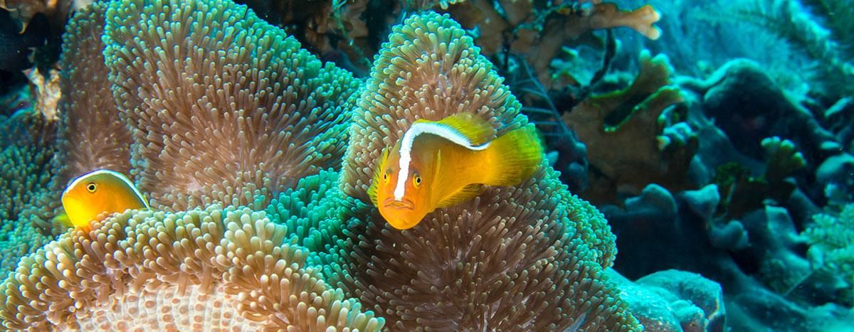 Anemone Fish, Bunaken Island, Manado, Indonesia
