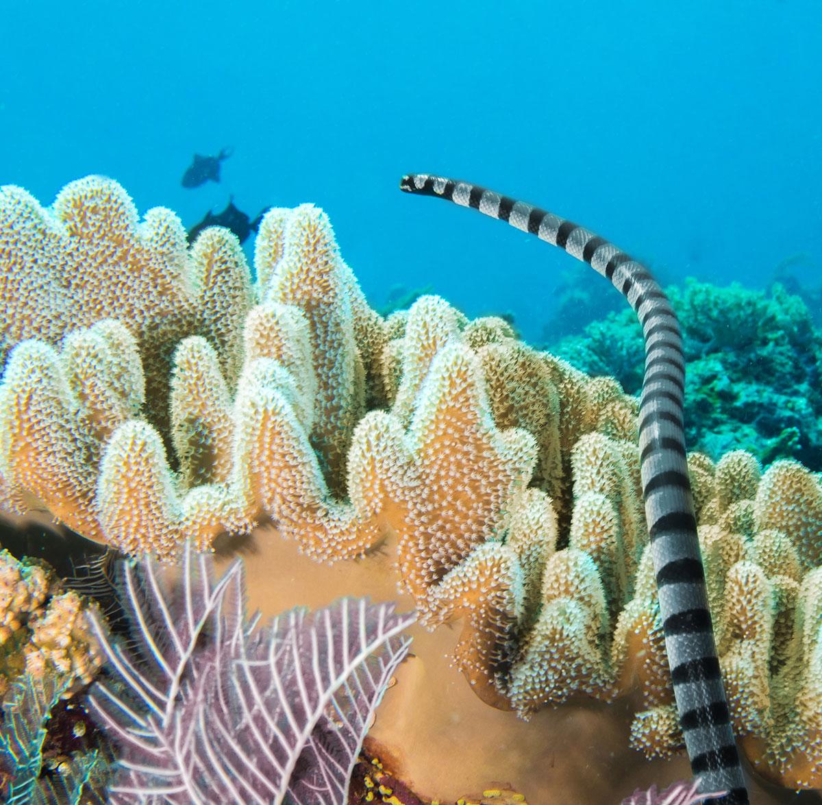 Seasnake, Bunaken Island, Manado, Indonesia