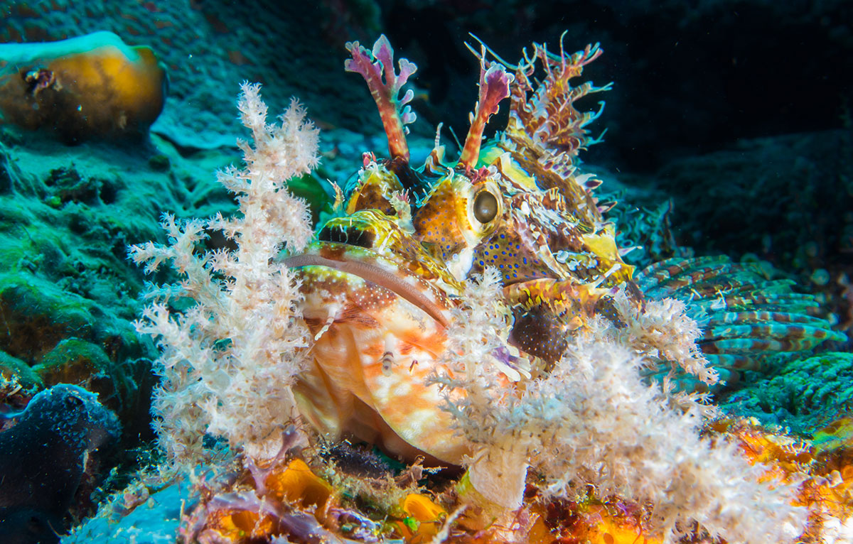 Stonefish, Bunaken Island, Manado, Indonesia